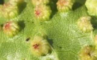Что такое филлоксера винограда болезнь или вредитель