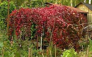 Преимущества девичьего винограда перед другими видами растений