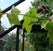 Для чего обрезают листья у винограда