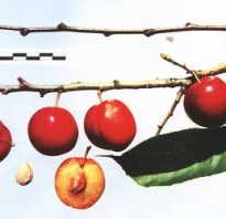 Выращивание сливы аленушка