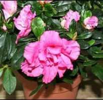 Зимнее цветение азалии в доме