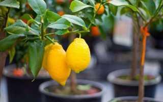 Обрезка лимонного дерева в домашних условиях