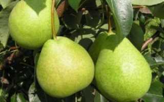 Характеристика груши сорта есенинская