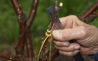 Абрикос размножение черенками уход за кроной молодого дерева