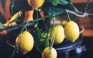 Как определить сорт лимона по листьям