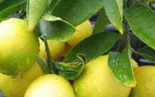Лимон цитрофортунелла в домашних условиях что это