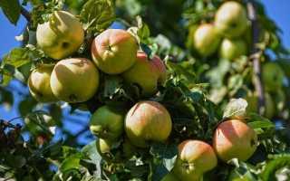 Яблоня удобрение весной для получения отличного урожая