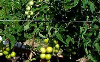 Томат яблонька россии характеристика и описание сорта отзывы