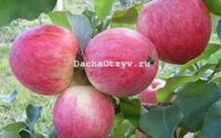 Яблоня хани хоней крисп описание сорта фото отзывы посадка урожайность