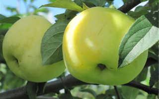 Антоновка сорт яблок описание