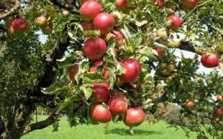Яблоня солнцедар секреты выращивания и урожайность