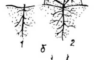 Выращивание клоновых подвоев яблони