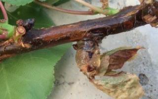 Причины увядания листьев абрикосовых деревьев