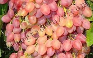Виноград кишмиш находка описание сорта фото