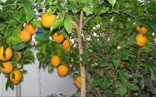 Полезные и вредные свойства горького апельсина