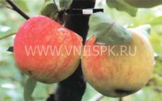 Описание яблони мельба
