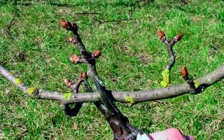Как подрезать грушу осенью