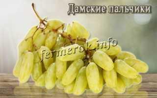 Всё о винограде дамские пальчики