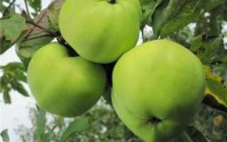 Яблоня превосходное описание сорта