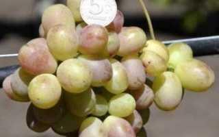 Что особенного в винограде королек