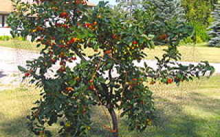 Выращивание вишни обыкновенной эванс бали