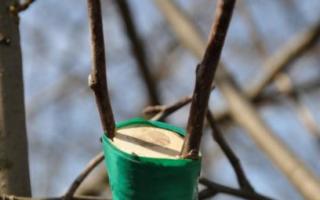 Хранение черенков яблони зимой