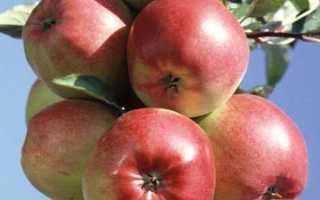 Сорт яблок лиголь описание
