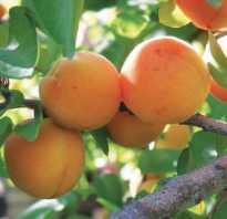 Абрикос персиковый описание сорта