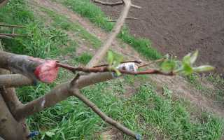 На что можно привить персик