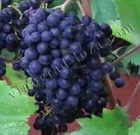 Характеристика винограда красень