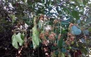 Причины облысения вишни