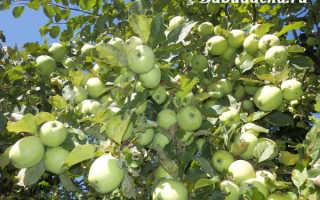 Когда опрыскивать яблони мочевиной