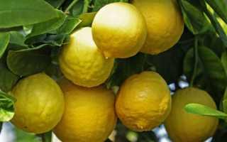 Сорт лимонов юбилейный растим в комнате