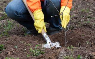 Когда сажать колоновидные яблони весной или осенью