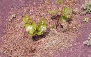 Зачем винограду нужен уход