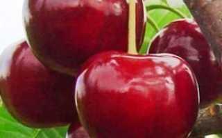 Период созревания вишни в средней полосе