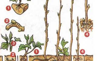 Размножение малины черенками весной