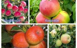 Посадка карликовых яблонь осенью