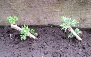 Как посадить крыжовник черенками