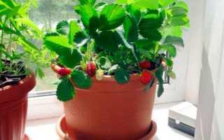 Какой сорт клубники лучше выращивать дома