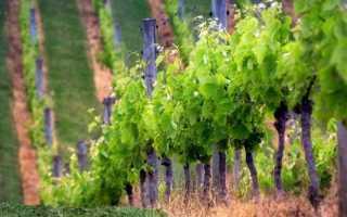 Все что нужно знать начинающему садоводу для выращивание виноградника