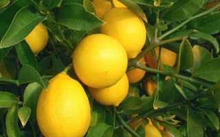 Удобрения для лимона в домашних условиях