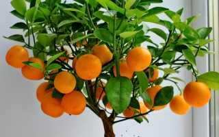 Как вырастить цитрусовое дерево из косточки