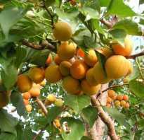 Важность летней обрезки абрикоса