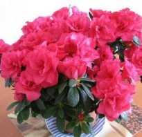 Азалия как цветет