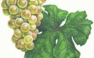 История возникновения этого винограда