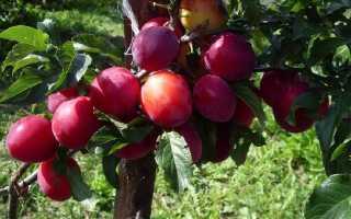Особенности посадки сливы красный шар