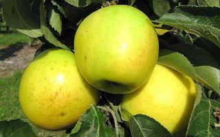 Описание колоновидной яблони малюха