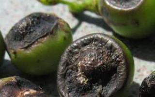 Почему чернеют ягоды винограда