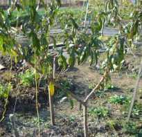 Как посадить персик осенью